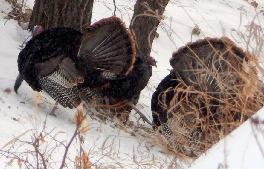 A Glimpse of the Twin Cities - Fort Snelling National Cemetery - Wild Turkeys