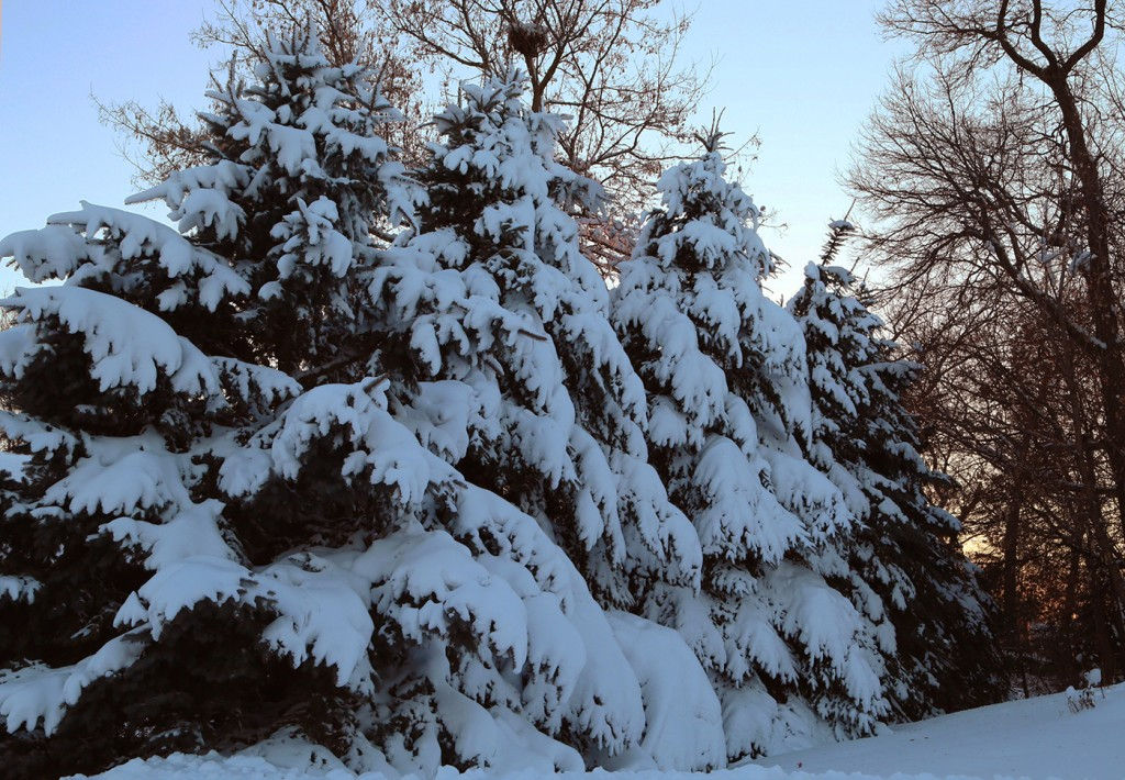 Beautiful Snow - Pine Trees - Minnesota