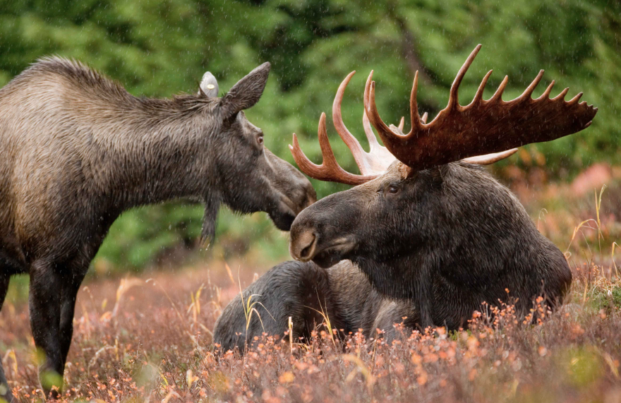 Minnesota Moose Count Numbers Improve