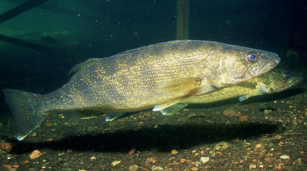 Walleye regulations remain tight at mille lacs lake for 2014 for Walleye fishing minnesota