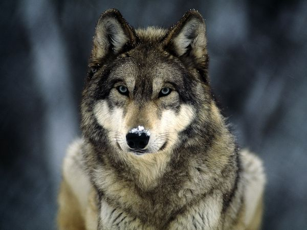 Wolf Found Dead After Traveling Across Ice Bridge on Lake Superior
