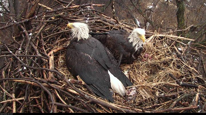 Eagle Cam Adults