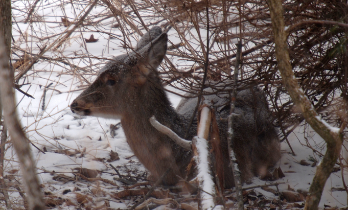 white tail deer - minnesota - 2014 - DNR feeding population - snowmobiles