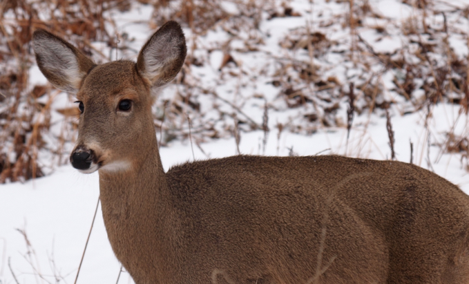 white tail deer - minnesota - 2014 - DNR feeding population