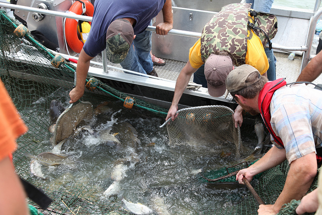 Invasive Carp Being Netted