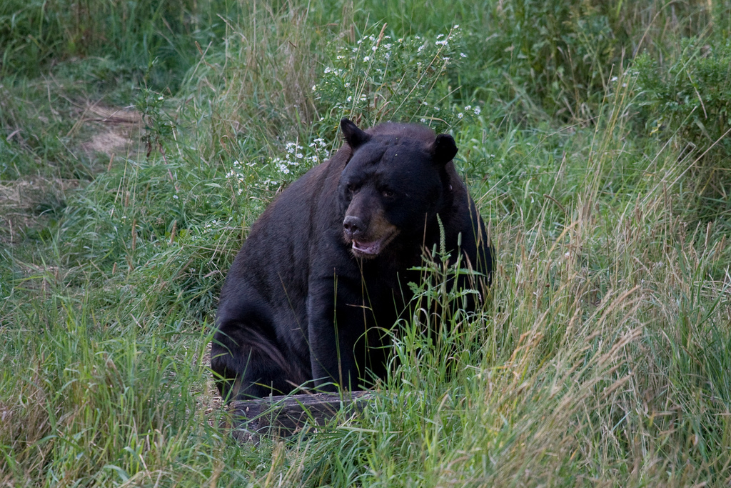 Black_bear_Moving_South_looking_for_food