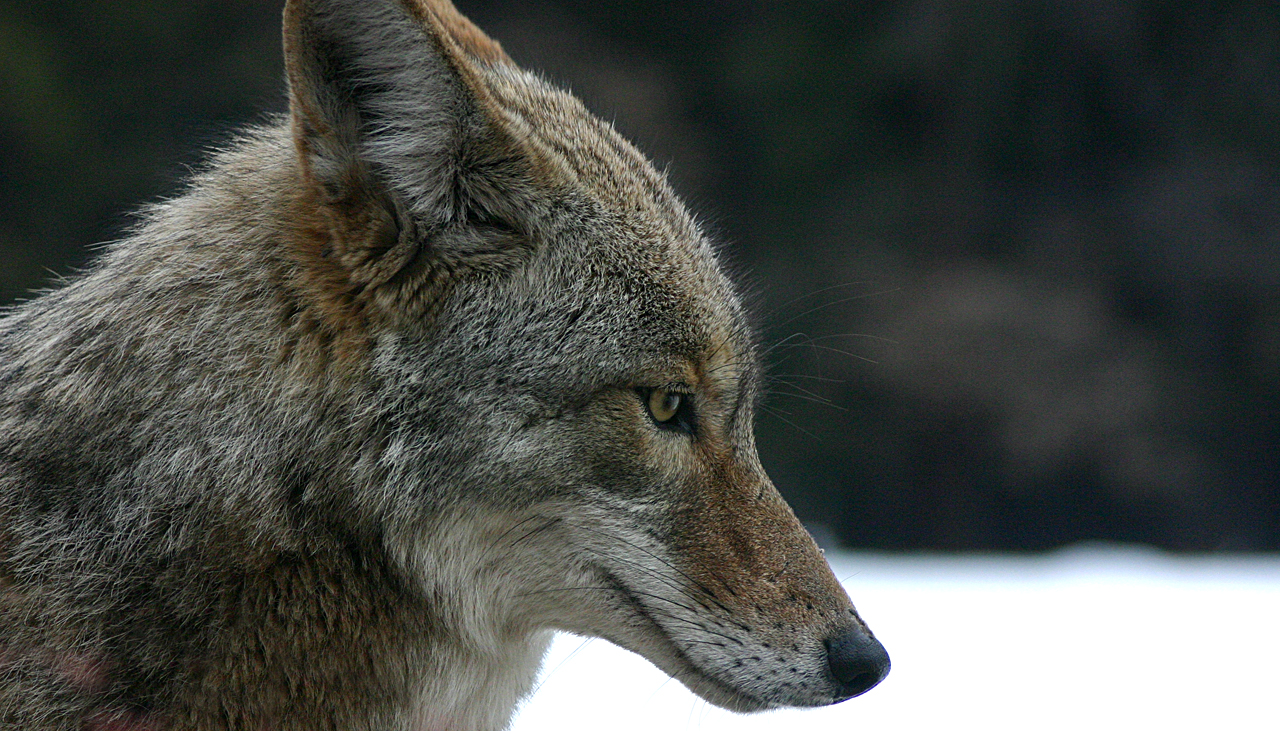 Confused_Coyote