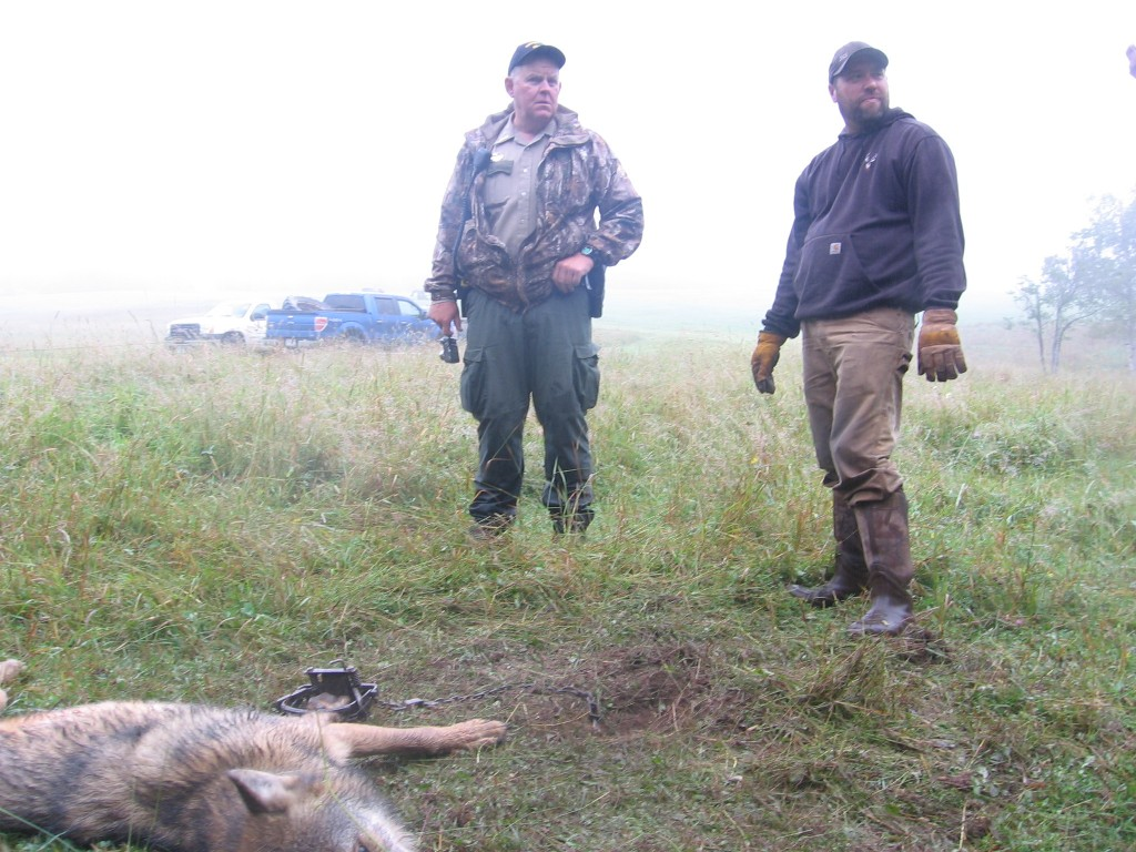 DNR officer Darin Fagerman (left) at a wolf trapping.